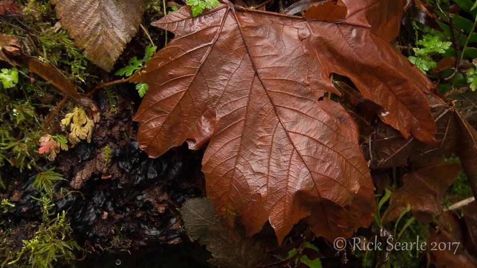 Bigleaf Maple Leaf
