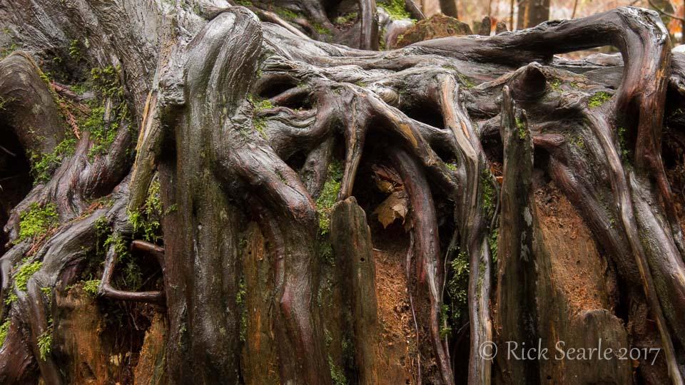 Cedar Roots on Stump