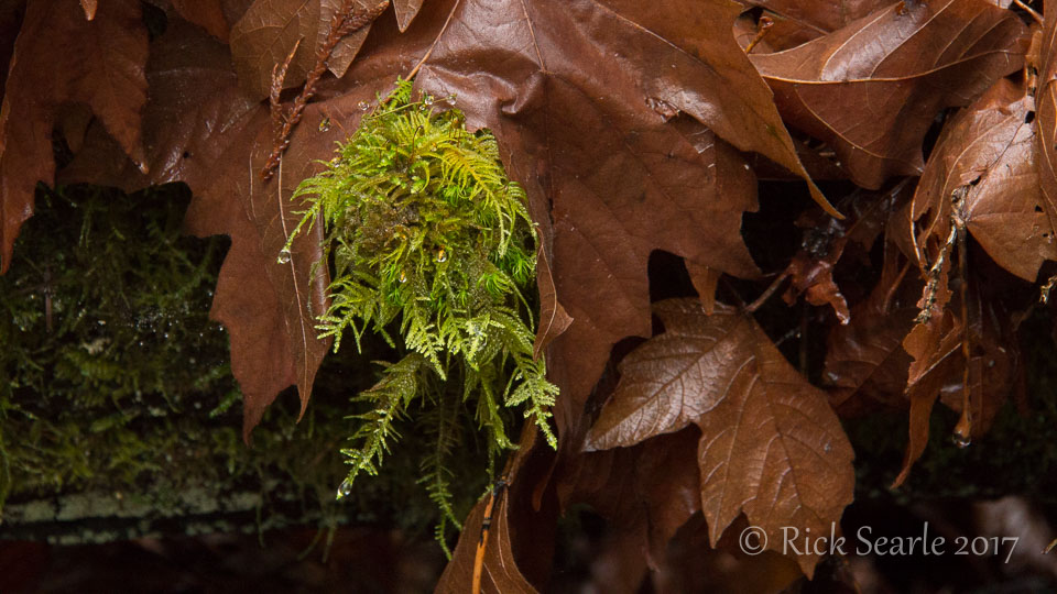 Moss and Maple Leaves