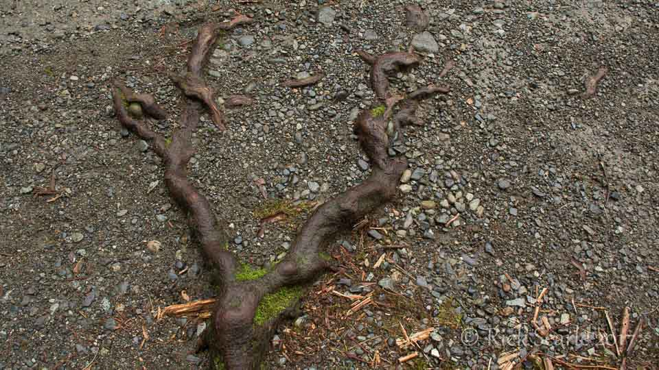 Cedar Root with Moss in Gravel