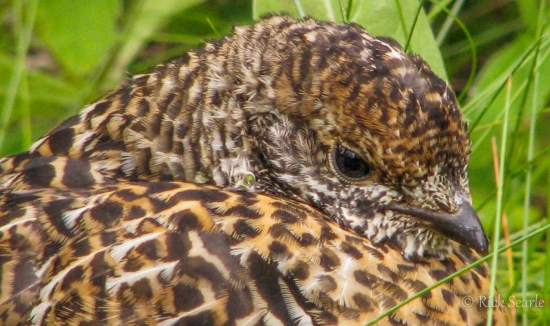 Ruff Grouse Chick-2889