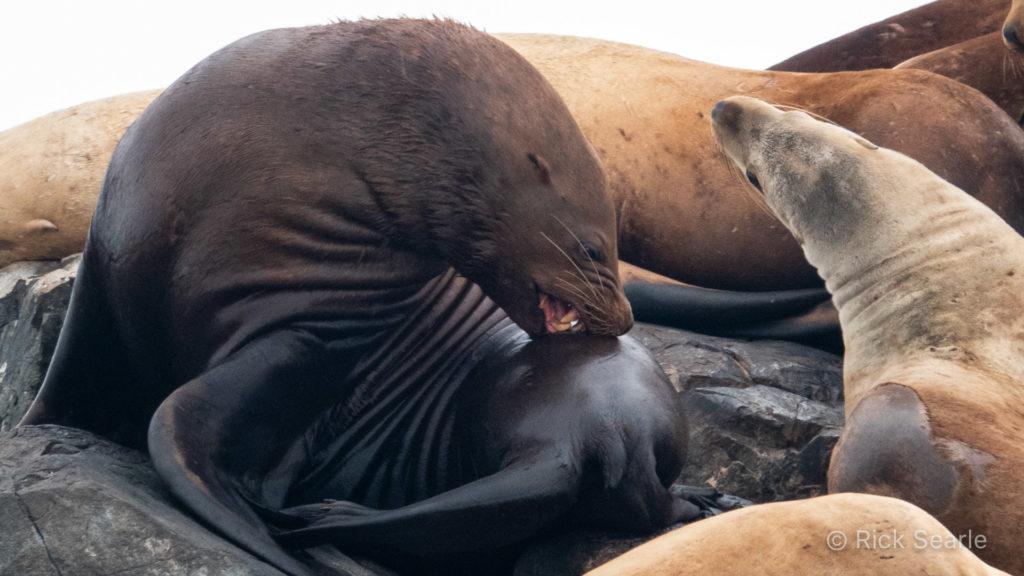 Sea Lion Grooming Itself